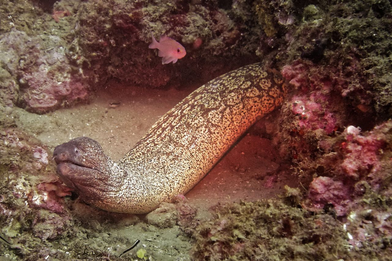 Moray eel at Cap Béar
