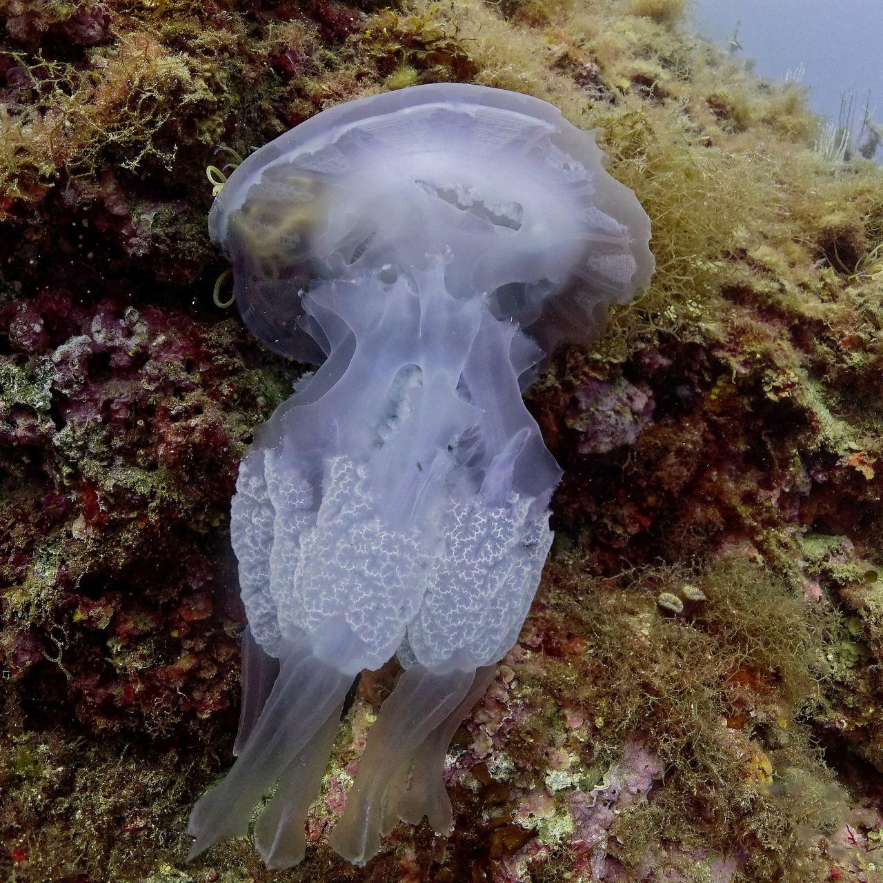 méduse - réserve marine de banyuls-cerbère