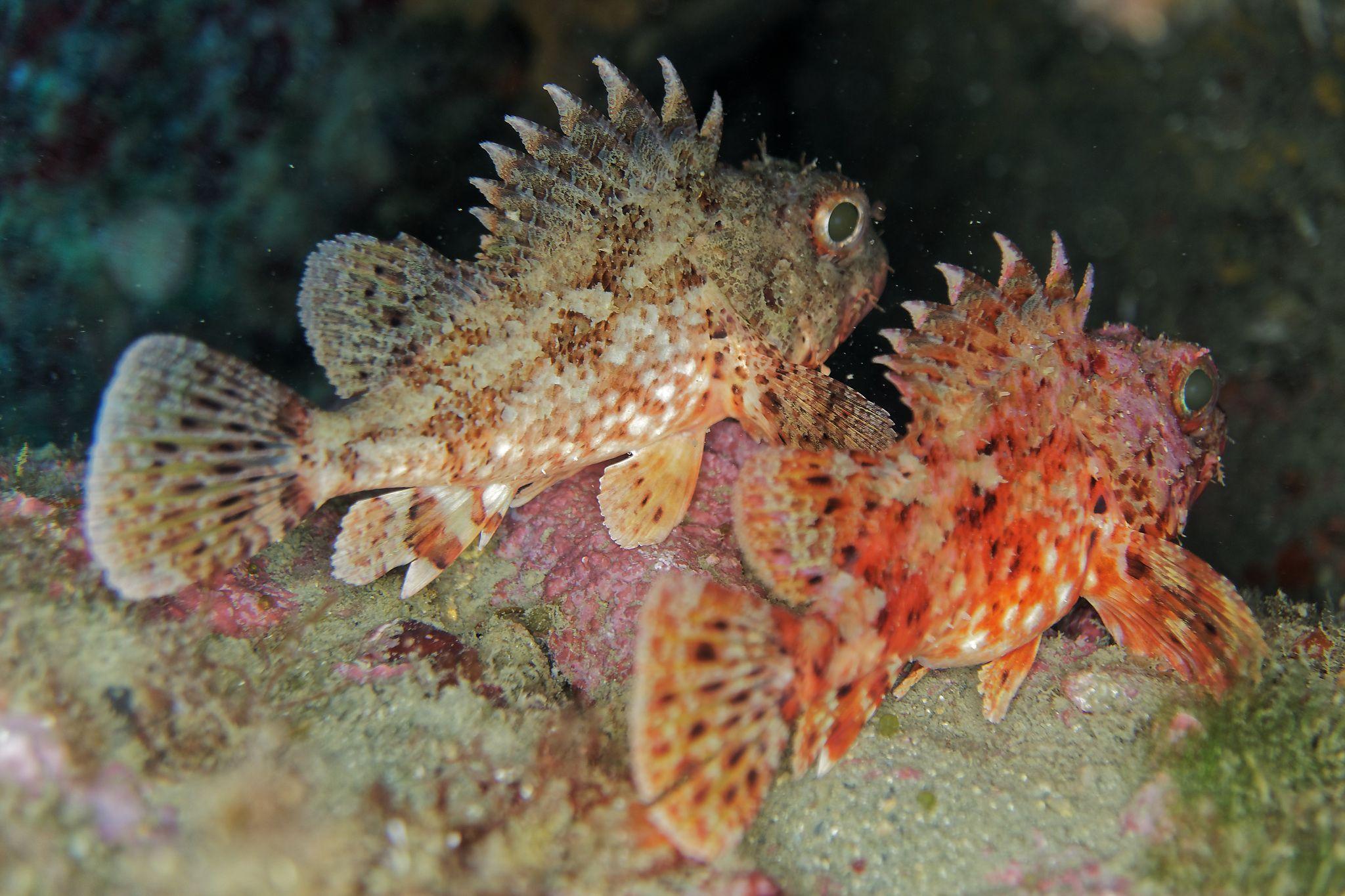 scorpion fish marine reserve banyuls cerbère france