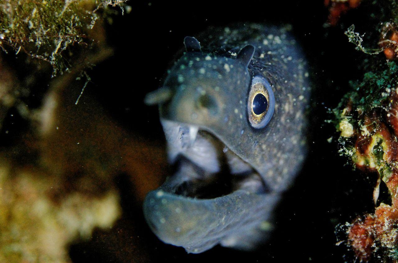 Moray eel - banyuls cerbère marine reserve france