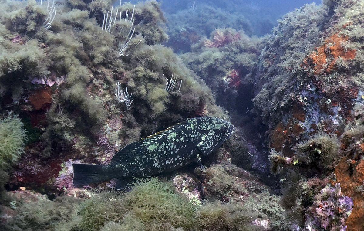 Mérou : réserve marine banyuls cerbère